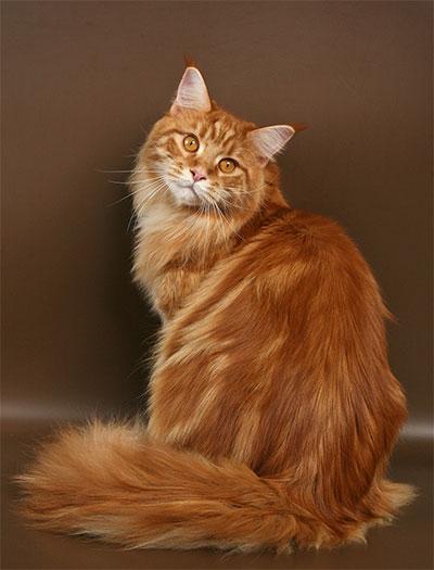 Мэйн Кун. Все о породе кошек Мэйн Кун