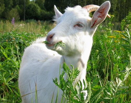 коза года: