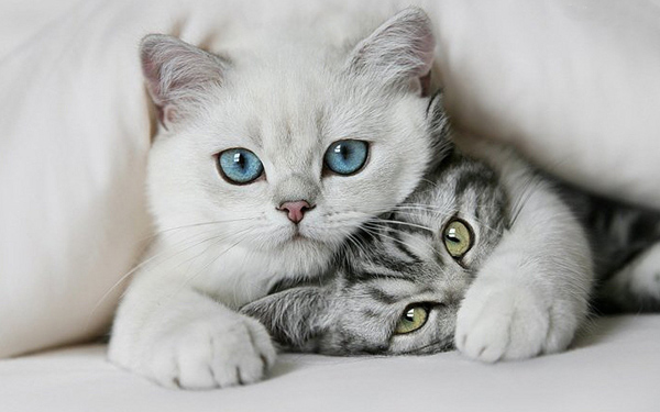 Почему кошки мурлыкают? Интересные факты о кошках