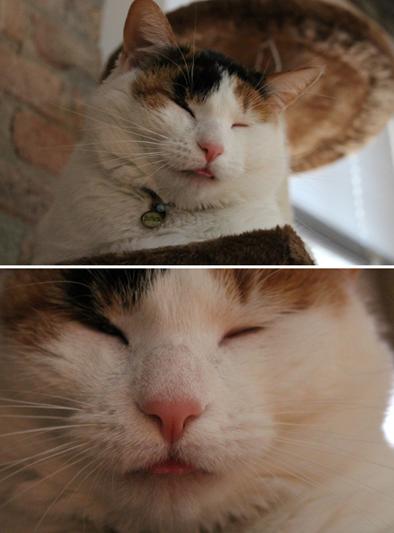 Кот показывает язык: смешные коты и кошки