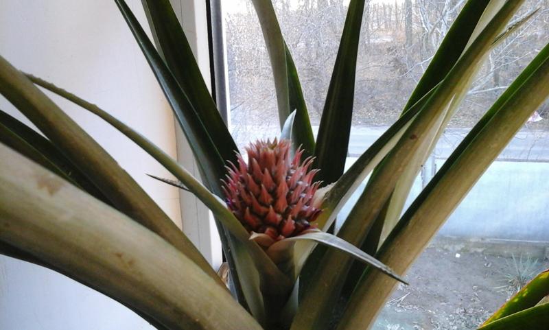 Как вырастить ананас? Как вырастить ананас в домашних условиях?