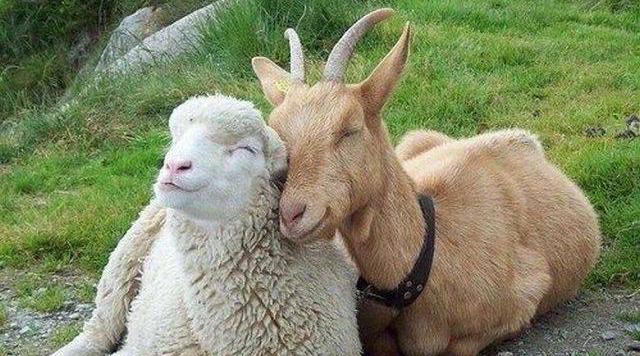 2015  год – год синей (зеленой) деревянной Козы (Овцы)