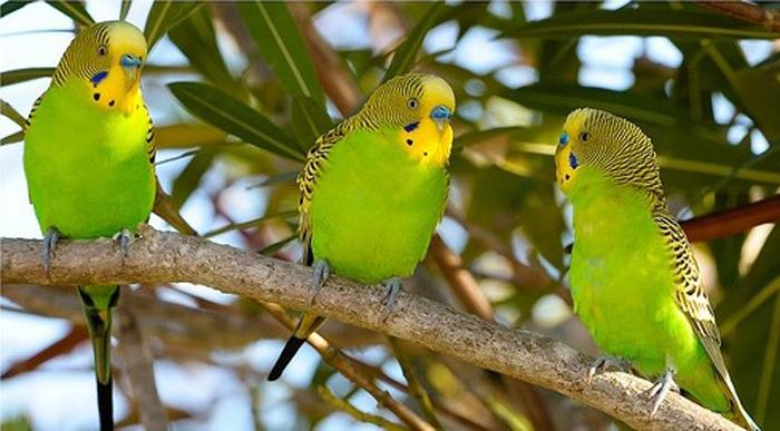 Волнистый попугай на английском языке