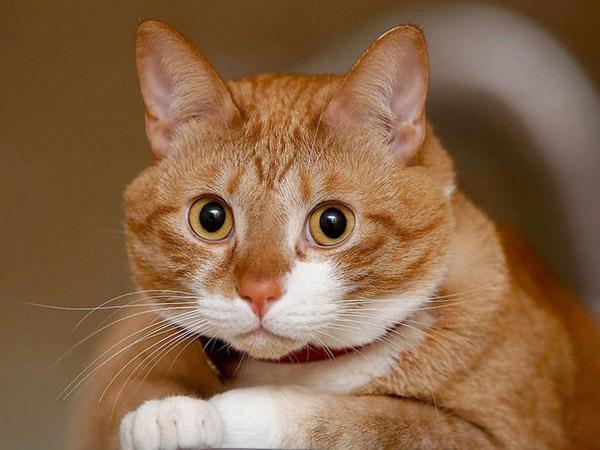 Кастрация котов: плюсы и минусы кастрации. Где кастрировать кота в Минске?